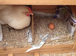 Create Chicken Bedding Is A Complete Science…